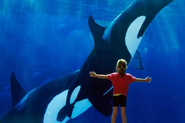 Orcas en el Seaworld de San Diego. Foto de California Travel & Tourism Comission/ Chad Ehlers/www.drr.net