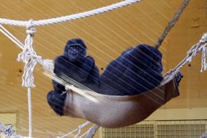 El parque de la Naturaleza de Cabárceno (Cantabria) da la bienvenida a dos nuevas gorilas