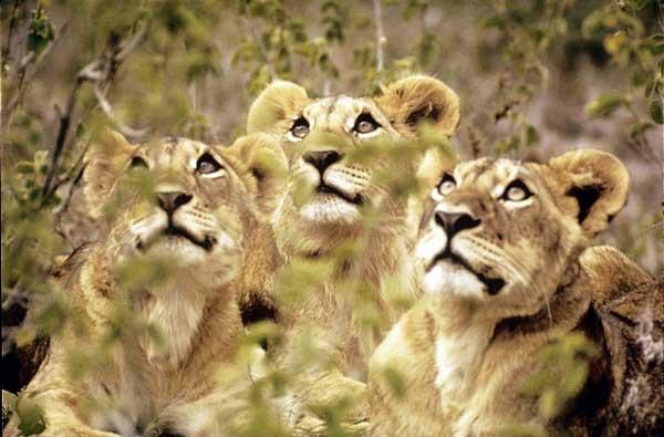 Leonas en Kenia