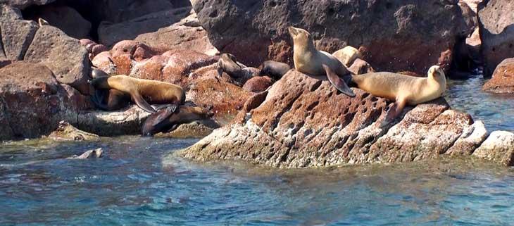 En la isla de Espíritu Santo, frente a La Paz, se puede nadar con leones marinos/Foto Juan Coma