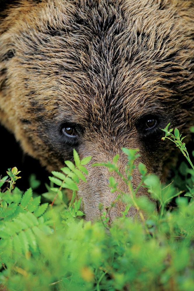 Únete a un tour de observación de osos pardos en Finlandia