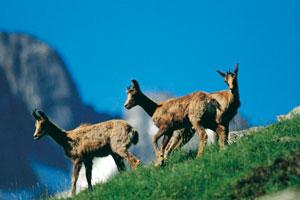 La concentración de rebecos, una de las atracciones del Valle de Enclar de Andorra