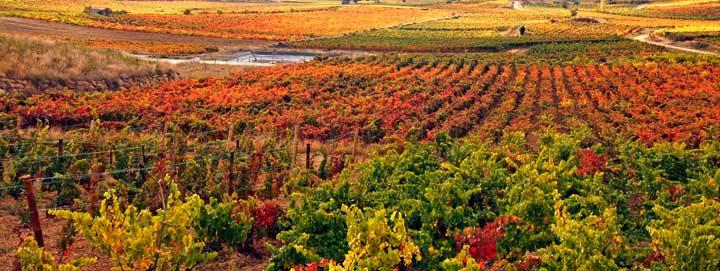 Los viñedos durante el otoño se tiñen de un bello color rojo