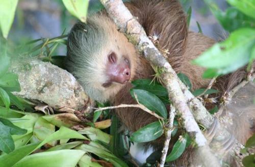 Un perezoso, animal muy habital en Costa Rica