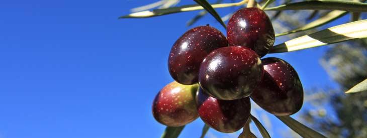 En la comarca de la Subbética se cultivan tres variedades de aceitunas: la Picual, la Hojiblanca y la picuda y cuenta con tres Denominaciones de Origen: la de Baena, la de Priego y la de Lucena.