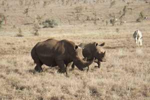 Rinocerontes blancos en la reserva de Lewa