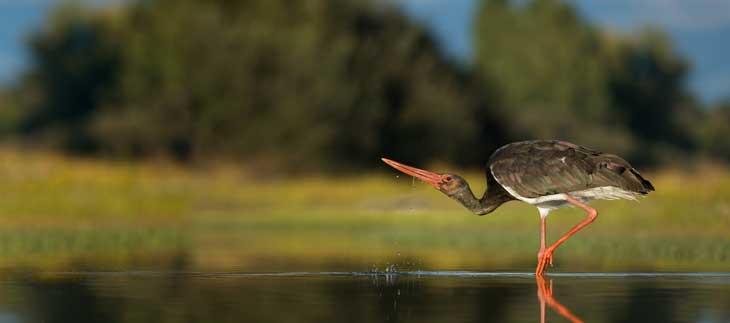 La cigüeña negra habita en Extremadura