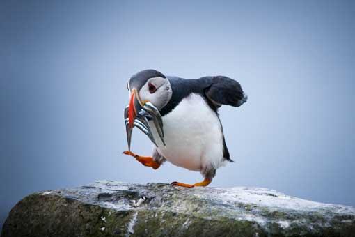 En las Islas Feroe se pueden ver más de 300 especies de aves